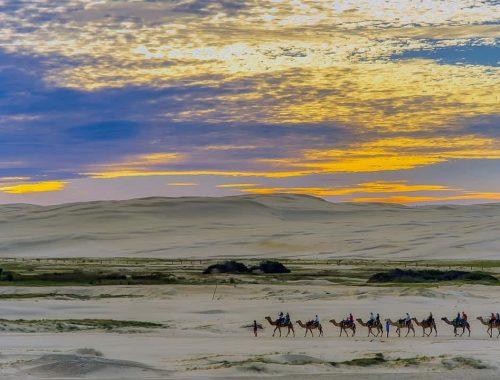 Wielbłądy na pustyni